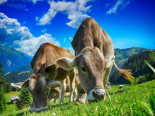 vacas pastando en campo abierto
